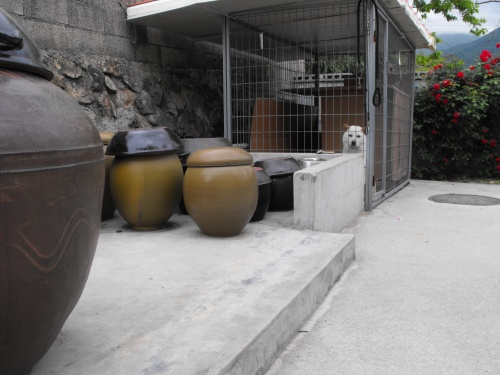 The pots used by my mother-in-law to make kimchi, soy sauce, denjung and so on. You can also see the backyard dog, Samsunhee. Awesome dog. Ian enjoys petting her and walking around the pots.